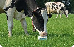 liksteen koe